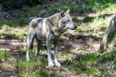 Γκρίζος λύκος στο Λύκο φύσης Στοκ Εικόνα