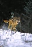 γκρίζος λύκος τρεξίματο&si Στοκ Εικόνα