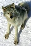 γκρίζος λύκος χιονιού Στοκ εικόνα με δικαίωμα ελεύθερης χρήσης