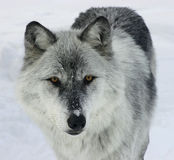 γκρίζος λύκος Στοκ εικόνα με δικαίωμα ελεύθερης χρήσης