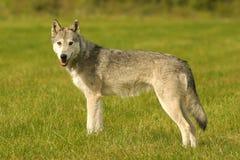 γκρίζος λύκος Στοκ εικόνες με δικαίωμα ελεύθερης χρήσης