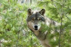 γκρίζος λύκος Στοκ Φωτογραφία