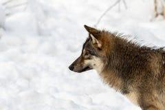 Γκρίζος λύκος, Λύκος Canis, κεφάλι στο σχεδιάγραμμα, που φαίνεται αριστερό, με το χιόνι στο υπόβαθρο Στοκ εικόνα με δικαίωμα ελεύθερης χρήσης