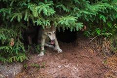 Γκρίζος Λύκος Canis κουταβιών λύκων κάτω από το πεύκο Στοκ Εικόνες