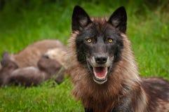 Γκρίζος Λύκος Canis λύκων με τα κουτάβια στο υπόβαθρο Στοκ Φωτογραφίες