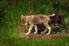 Γκρίζος Λύκος Walik Canis κουταβιών λύκων που αφήνεται Στοκ εικόνες με δικαίωμα ελεύθερης χρήσης