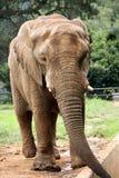 γκρίζος μεγάλος ελεφάν&ta Στοκ φωτογραφία με δικαίωμα ελεύθερης χρήσης