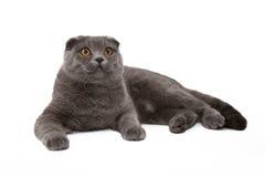 Γκρίζος-μπλε σκωτσέζικη γάτα πτυχών στο άσπρο υπόβαθρο Στοκ εικόνα με δικαίωμα ελεύθερης χρήσης