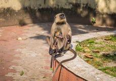 Γκρίζος πίθηκος μητέρων langur με το μωρό της Στοκ Φωτογραφία