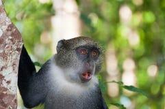 Γκρίζος πίθηκος Zanzibar Στοκ φωτογραφία με δικαίωμα ελεύθερης χρήσης