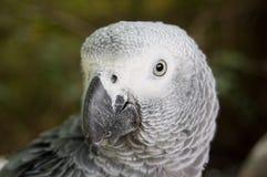 γκρίζος παπαγάλος στοκ εικόνες με δικαίωμα ελεύθερης χρήσης
