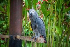 Γκρίζος παπαγάλος, άγρια φύση στα πουλιά του Μπαλί και πάρκο ερπετών στοκ εικόνα