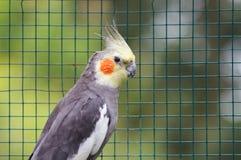 Γκρίζος παπαγάλος - hollandicus Nymphicus Στοκ Φωτογραφία