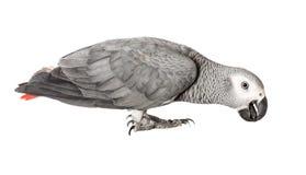 Γκρίζος παπαγάλος Jaco σε ένα άσπρο υπόβαθρο Στοκ Φωτογραφίες