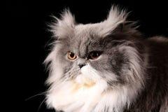 γκρίζος περσικός γατών Στοκ Εικόνες