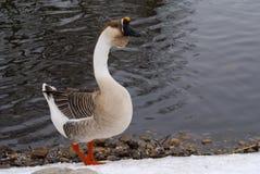 γκρίζος ποταμός χήνων τραπ&eps Στοκ Φωτογραφίες