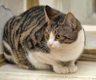 γκρίζος ριγωτός γατών Στοκ Εικόνα