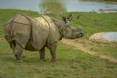 Γκρίζος ρινόκερος χωρίς Hornes Στοκ Φωτογραφία