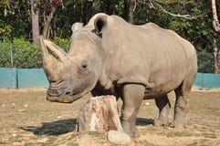 γκρίζος ρινόκερος Στοκ εικόνες με δικαίωμα ελεύθερης χρήσης