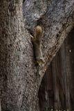 Γκρίζος σκίουρος ανάποδα στο δρύινο κορμό δέντρων Στοκ φωτογραφία με δικαίωμα ελεύθερης χρήσης