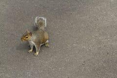 Γκρίζος σκίουρος, γκρίζος, carolinensis Sciurus, διάστημα στο δικαίωμα Στοκ Φωτογραφία