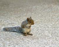 γκρίζος σκίουρος μωρών Στοκ Εικόνες