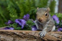 Γκρίζος σκίουρος μωρών Στοκ Φωτογραφίες