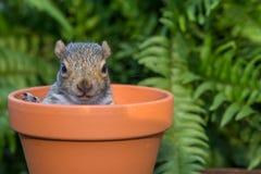 Γκρίζος σκίουρος μωρών Στοκ Εικόνα