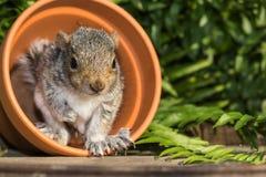Γκρίζος σκίουρος μωρών Στοκ Φωτογραφία
