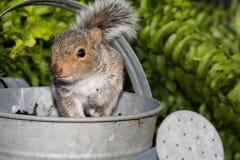 Γκρίζος σκίουρος μωρών Στοκ εικόνες με δικαίωμα ελεύθερης χρήσης