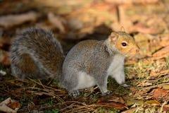 Γκρίζος σκίουρος που απολαμβάνει την ηλιοφάνεια Στοκ φωτογραφία με δικαίωμα ελεύθερης χρήσης