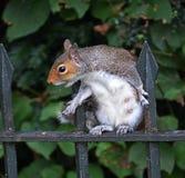 Γκρίζος σκίουρος που ικετεύει για τα τρόφιμα Στοκ Εικόνες