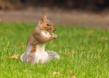 Γκρίζος σκίουρος που τρώει ένα βελανίδι, Worcestershire, Αγγλία Στοκ εικόνα με δικαίωμα ελεύθερης χρήσης
