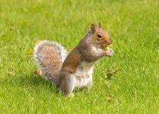 Γκρίζος σκίουρος που τρώει ένα βελανίδι, Worcestershire, Αγγλία Στοκ Εικόνες