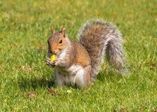 Γκρίζος σκίουρος που τρώει ένα βελανίδι, Worcestershire, Αγγλία Στοκ φωτογραφία με δικαίωμα ελεύθερης χρήσης