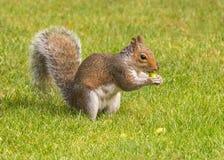 Γκρίζος σκίουρος που τρώει ένα βελανίδι, Worcestershire, Αγγλία Στοκ Εικόνα