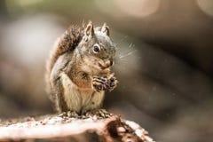 Γκρίζος σκίουρος που τρώει τον κώνο πεύκων Στοκ Φωτογραφίες
