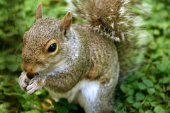 Γκρίζος σκίουρος που τρώει το καρύδι Στοκ εικόνα με δικαίωμα ελεύθερης χρήσης