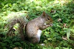 Γκρίζος σκίουρος που τρώει το καρύδι Στοκ Φωτογραφία