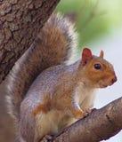 Γκρίζος σκίουρος σε ένα δέντρο στοκ εικόνα