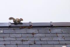 Γκρίζος σκίουρος στη στέγη στοκ εικόνες