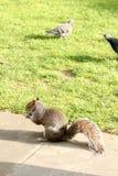 Γκρίζος σκίουρος στη χλόη με ένα καρύδι σε χέρι-2 στοκ φωτογραφία