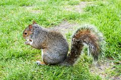 Γκρίζος σκίουρος στη χλόη με ένα καρύδι στα χέρια στοκ φωτογραφία με δικαίωμα ελεύθερης χρήσης