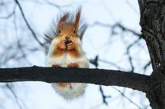 Γκρίζος σκίουρος στον κλάδο το χειμώνα στοκ φωτογραφίες