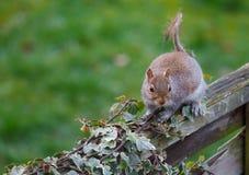 Γκρίζος σκίουρος στο φράκτη Στοκ Εικόνες