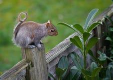 Γκρίζος σκίουρος στο φράκτη Στοκ Εικόνα