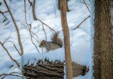Γκρίζος σκίουρος στο χιόνι Στοκ Εικόνα