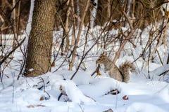 Γκρίζος σκίουρος στο χιόνι Στοκ φωτογραφία με δικαίωμα ελεύθερης χρήσης