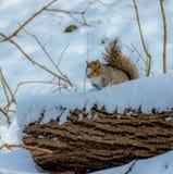Γκρίζος σκίουρος στο χιόνι Στοκ Εικόνες