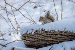 Γκρίζος σκίουρος στο χιόνι Στοκ εικόνα με δικαίωμα ελεύθερης χρήσης